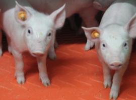 Paneltim in pig housing